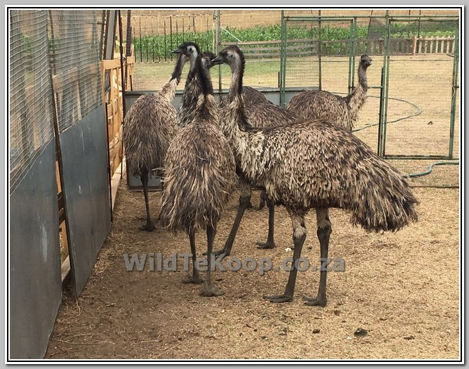 Emus for sale