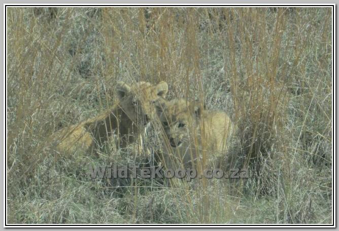 fotos: Lion cubs for sale