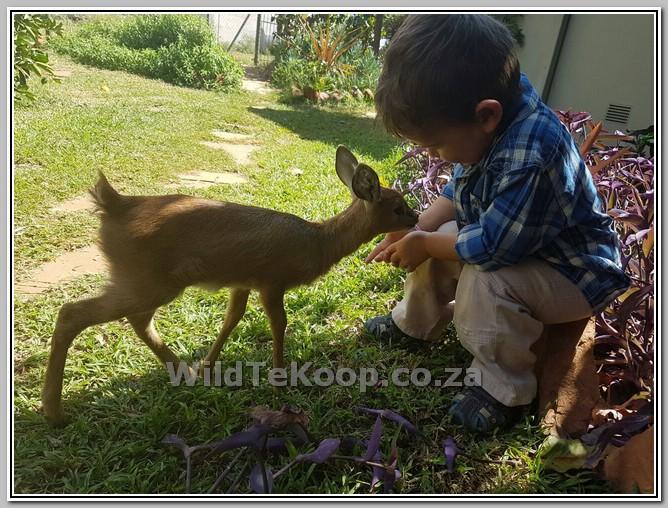 foto: Steenbok ooitjie te koop
