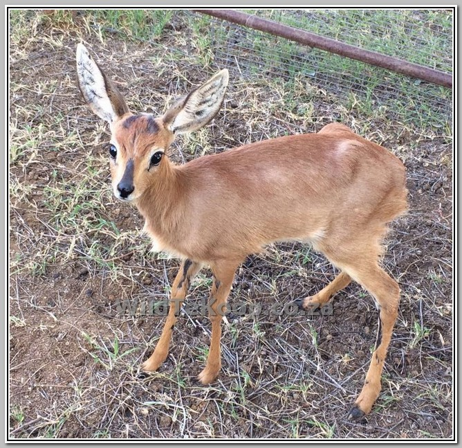 fotos Steenbok rammetjie te koop