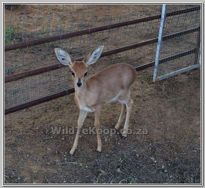 fotos: Steenbok te koop