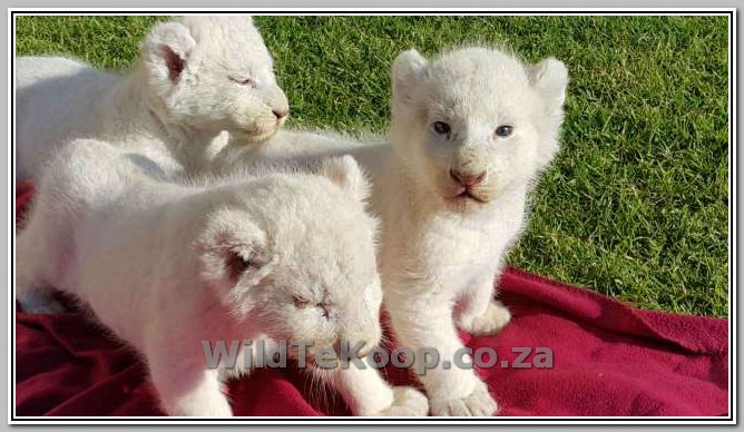 photo White lion cubs for sale