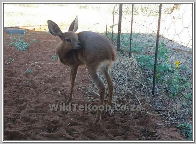 foto Steenbok rammetjie te koop