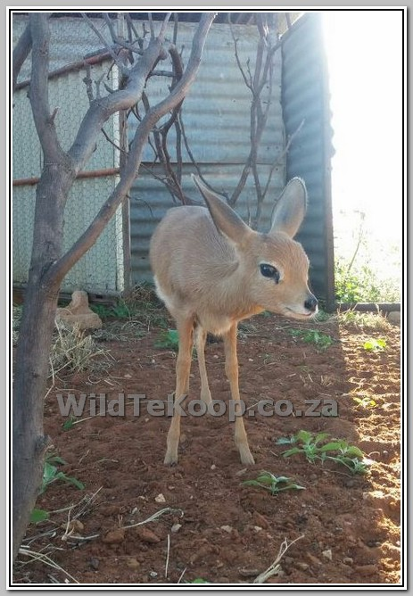 fotos Steenbok te koop