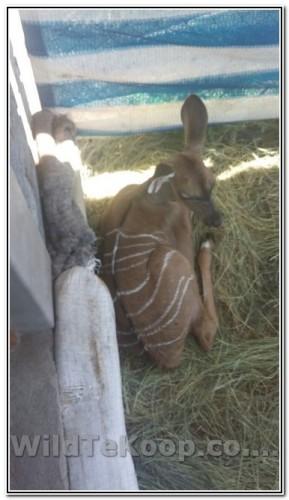 Kudu Versie te koop met Swart Gene