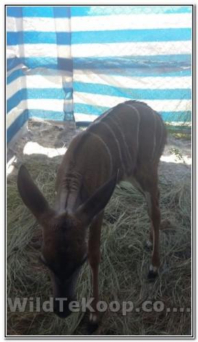Kudu Versie te koop