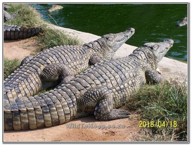 Krokodille te koop deur - Teler