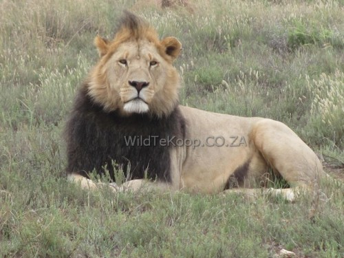 3 and half year male lion for sale for breeding