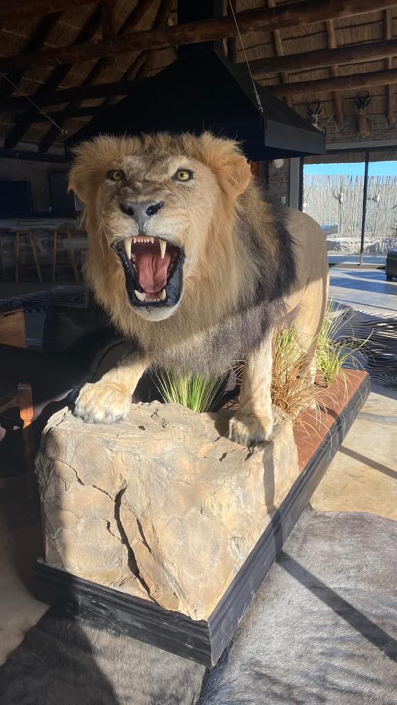 Full Lion Mounts for sale