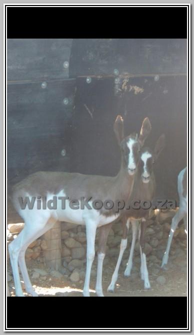 4x Bont Springbok ooie te koop