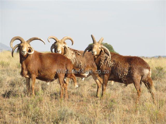 4 horn Damaras for sale