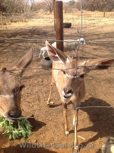 photo Bigger species of buck as tame animals for sale