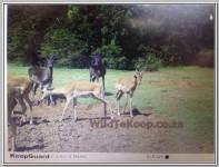 Photo: Black Fallow deer for sale