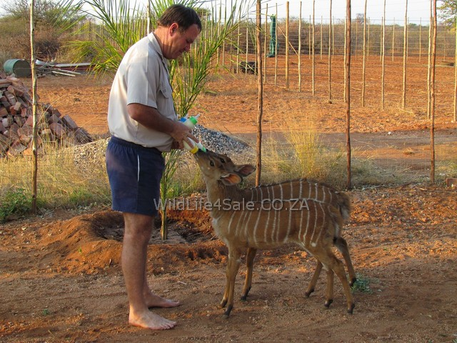 Feeding the Bottle Tame Nyalas for sale