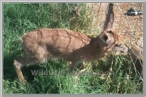 pic Duiker for sale