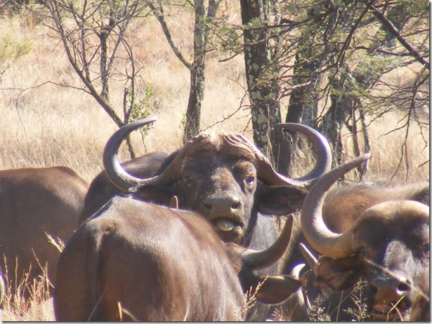 East Africa Buffalo breeding group for sale