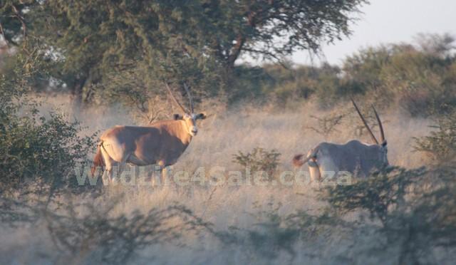 Golden Gemsbuck Bull for sale