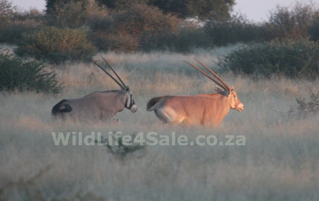 Golden Oryx for sale - WildLife4Sale.co_.za_
