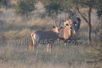 Golden oryx bull for sale