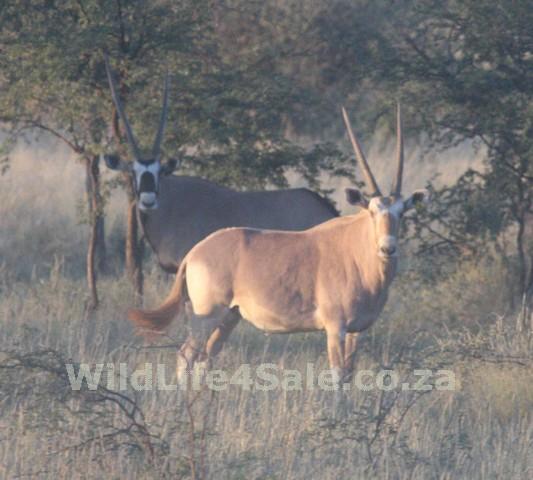 Goue Gemsbok bul - WildLife4Sale.co.za