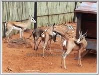 photo: Koper Split Springbok ooi te koop