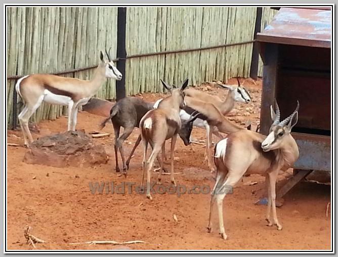Koper Split Springbok ooi te koop