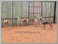 pics: Koper Springbok lammetjie te koop