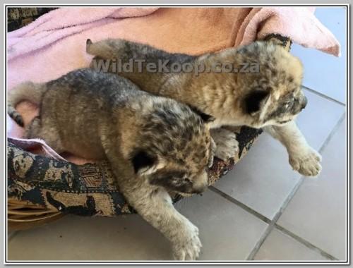 photo Lion cubs for sale