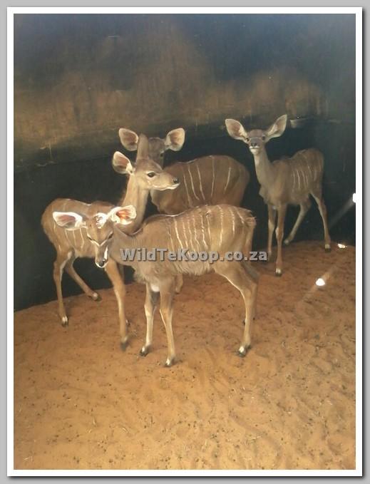 Mak koedoes te koop - NoordWes Provinsie - foto van koedoes