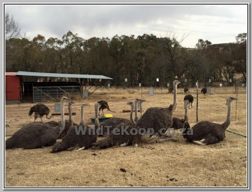 photo Ostriches for sale