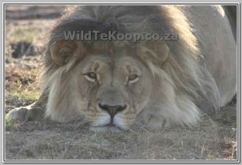 pics: Pa van die two leeu Welpies - nie te koop nie