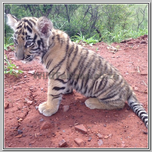 Small Bottle fed tigers for sale 1