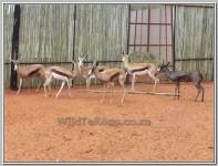 pic Swart Springbok ooi te koop