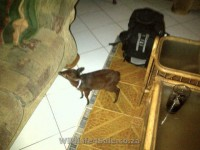 photo Tame Duiker for sale
