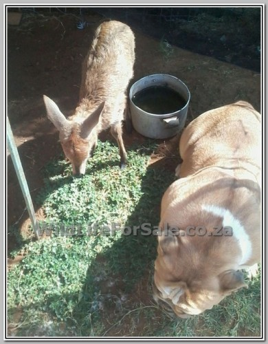 pics: Tame duiker for sale