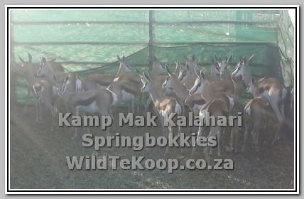 Tame kalahari springbuck for sale photo