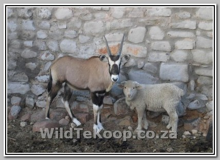 Tame oryx and sheep for sale photo