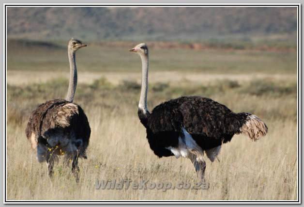 Volstruise te koop / Ostriches for sale